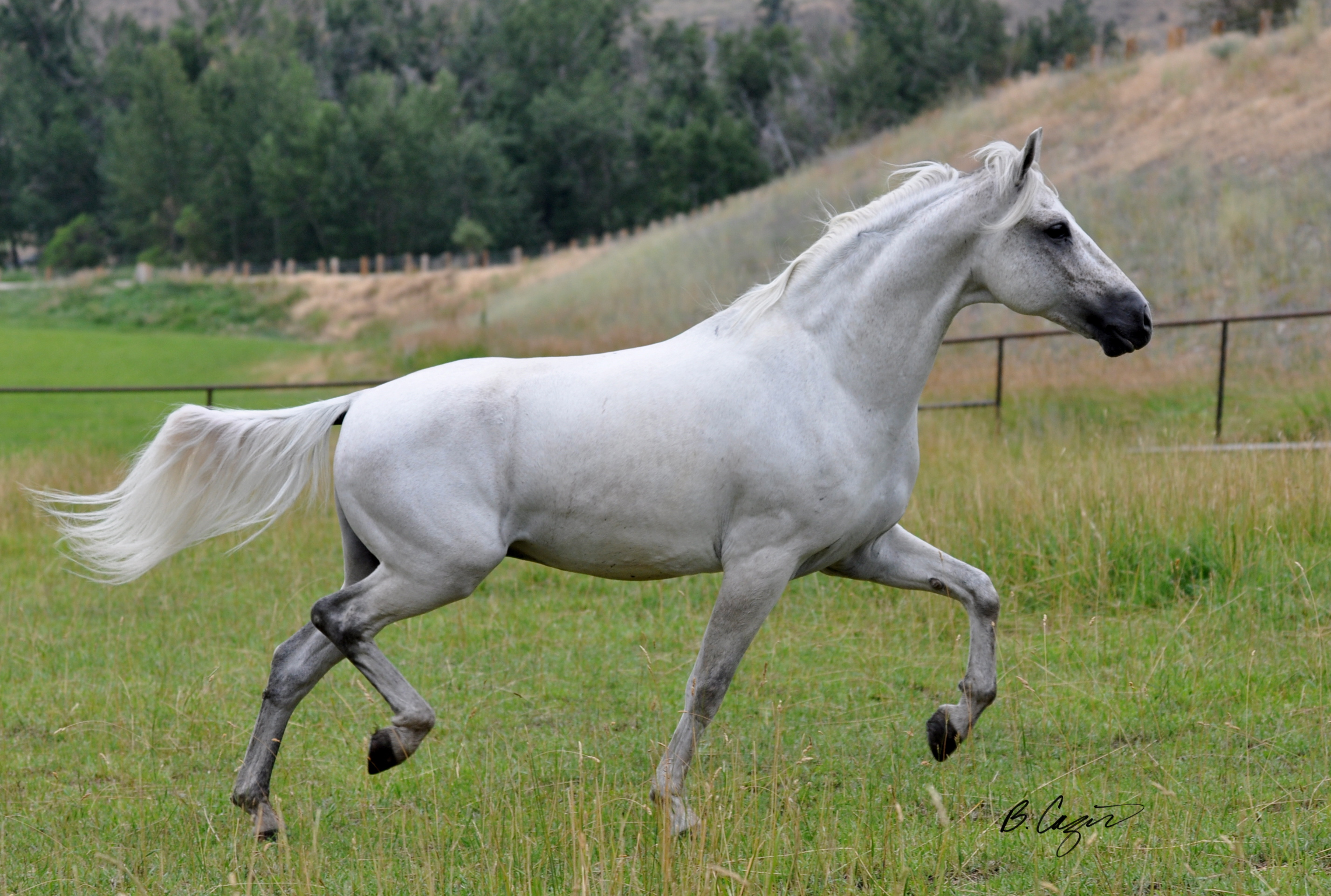 Imported MM Gelding Marching