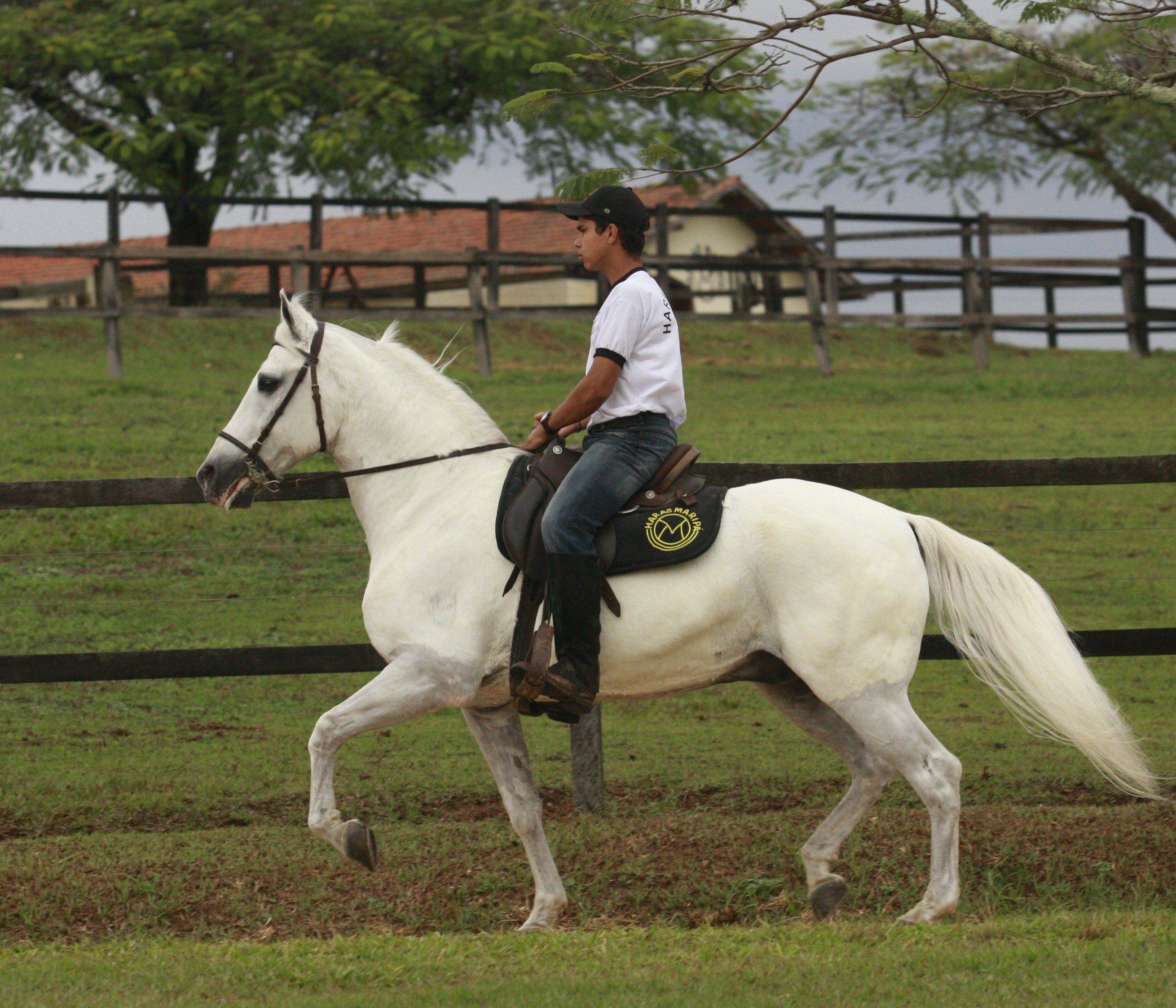 Elite stallion, Abaiba heritage
