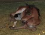 Last Marchador foal of 2010!