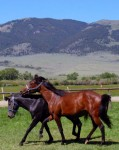 Playful 2 year old stallions